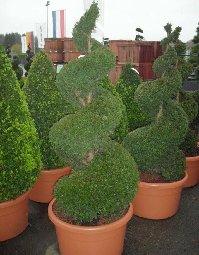 Formbäume Und Formgehölze  Baumschulepflanzen Große Pflanzen Und von Japanische Bäume Für Den Garten Kaufen Photo