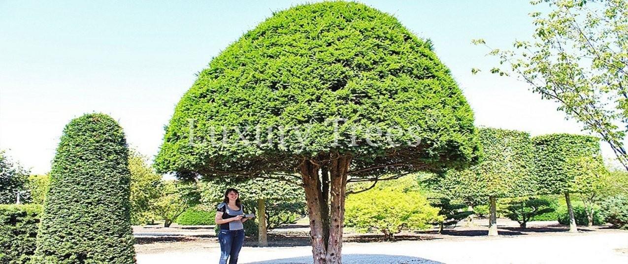 Gartenbäume  Luxurytrees® Österreich von Japanische Bäume Für Den Garten Kaufen Bild