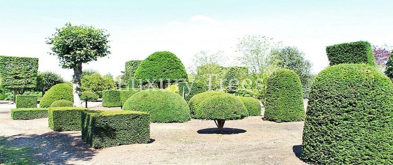Japanische Bäume & Pflanzen Online Kaufen  Luxurytrees® Shop von Japanische Bäume Für Den Garten Kaufen Bild