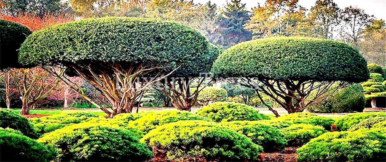 Japanische Bäume & Pflanzen Online Kaufen  Luxurytrees® Shop von Japanische Bäume Für Den Garten Kaufen Photo
