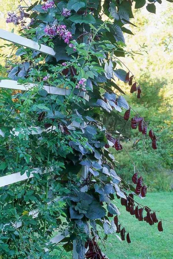 12 Tolle Vorschläge Für Schnellwachsende Kletterpflanze Im Garten von Schnell Wachsende Kletterpflanze Immergrün Bild