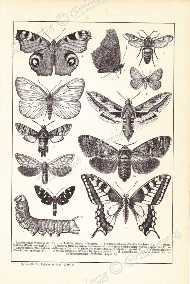 1898 Prachtige Vlinders En Motten En Hun Rupsen Lycaena  Etsy von Kleine Motten Im Bad Bild