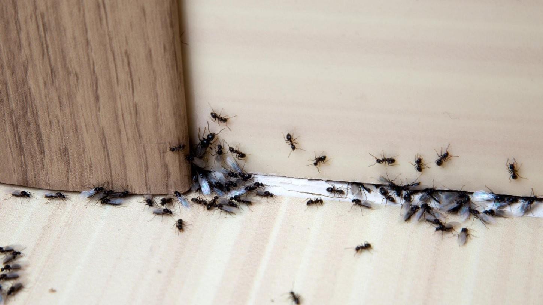 Ameisen Bekämpfen Tipps  Hausmittel Gegen Ameisen Im Haus von Ameisen In Der Küche Photo