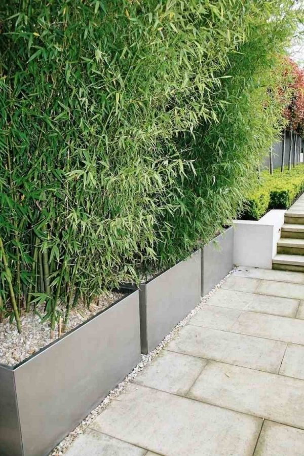 Bambuspflanzen In Pflankübeln Als Sichtschutz  Mamãe  Bambus von Pflanzen Als Sichtschutz Terrasse Bild