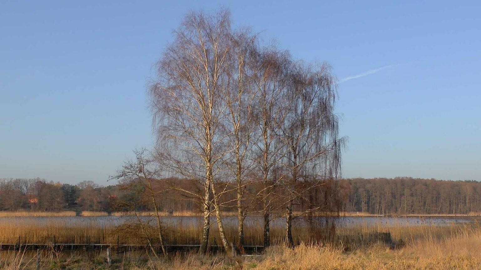 Birke (Betula)  Im Pflanzenlexikon >> Gartennatur von Birkenstamm Mit Ästen Kaufen Photo