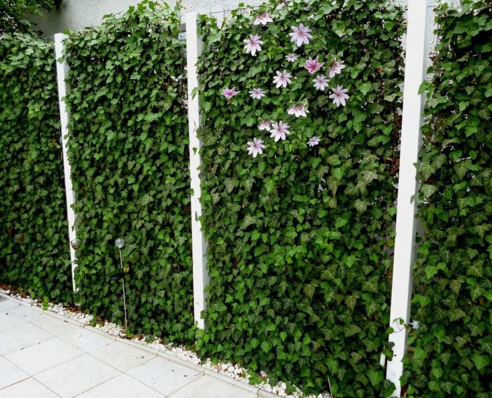 Blühende Hecke Efeu Mit Clematis  Zahrada  Efeuhecke Efeu Und von Efeu Sichtschutz Selber Machen Bild