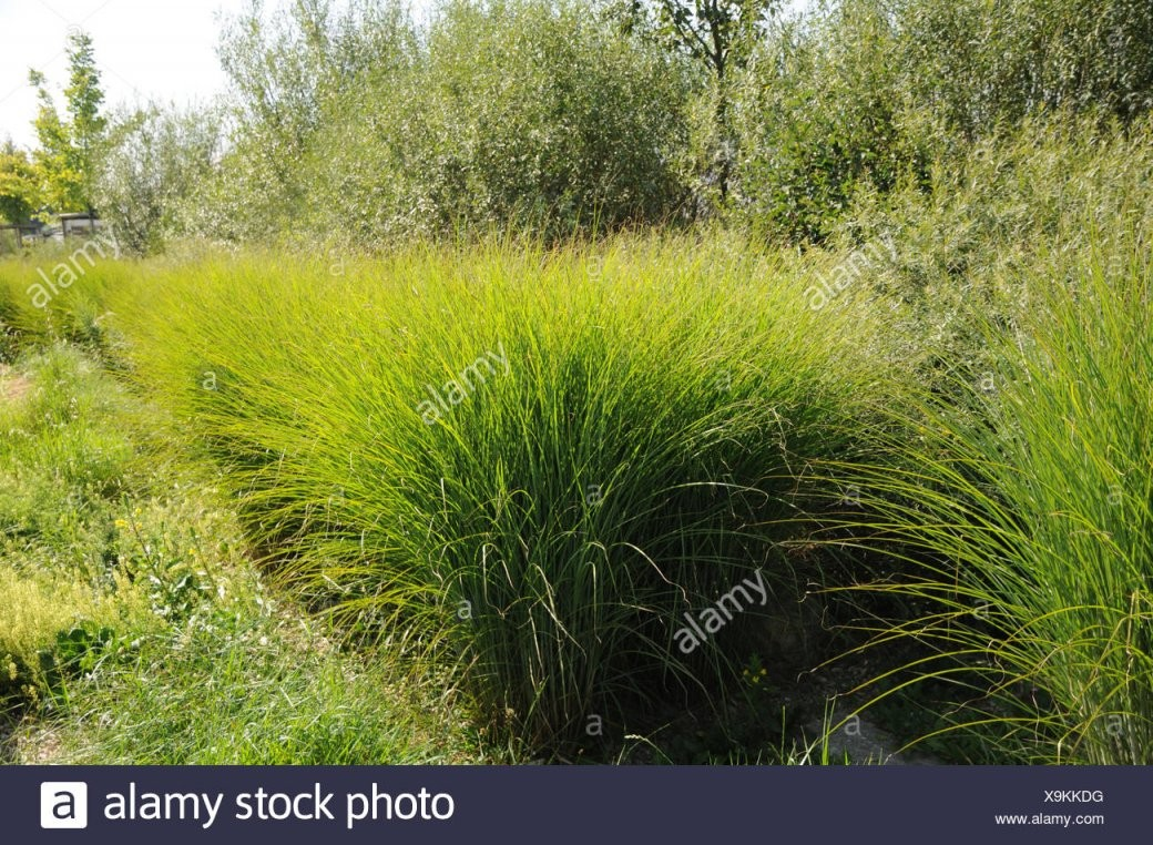 Chinese Silver Grass Stock Photo 281330156  Alamy von Chinaschilf Eulalia Als Hecke Bild