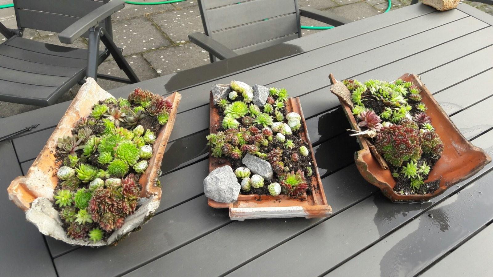 Dachrosen Pflanzen Und Dekorativ Einsetzen von Deko Ideen Mit Hauswurz Bild