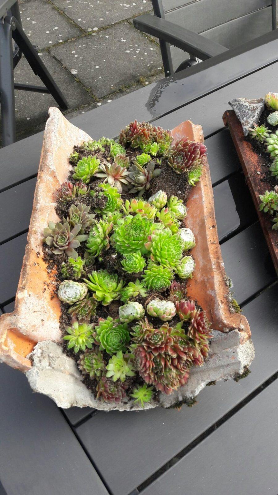 Dachrosen Pflanzen Und Dekorativ Einsetzen von Deko Ideen Mit Hauswurz Photo