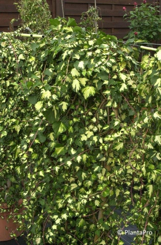 Kletterpflanzen  Pflanzenverkauf Schweiz Onlineshop Für Pflanzen von Schnell Wachsende Kletterpflanze Immergrün Photo
