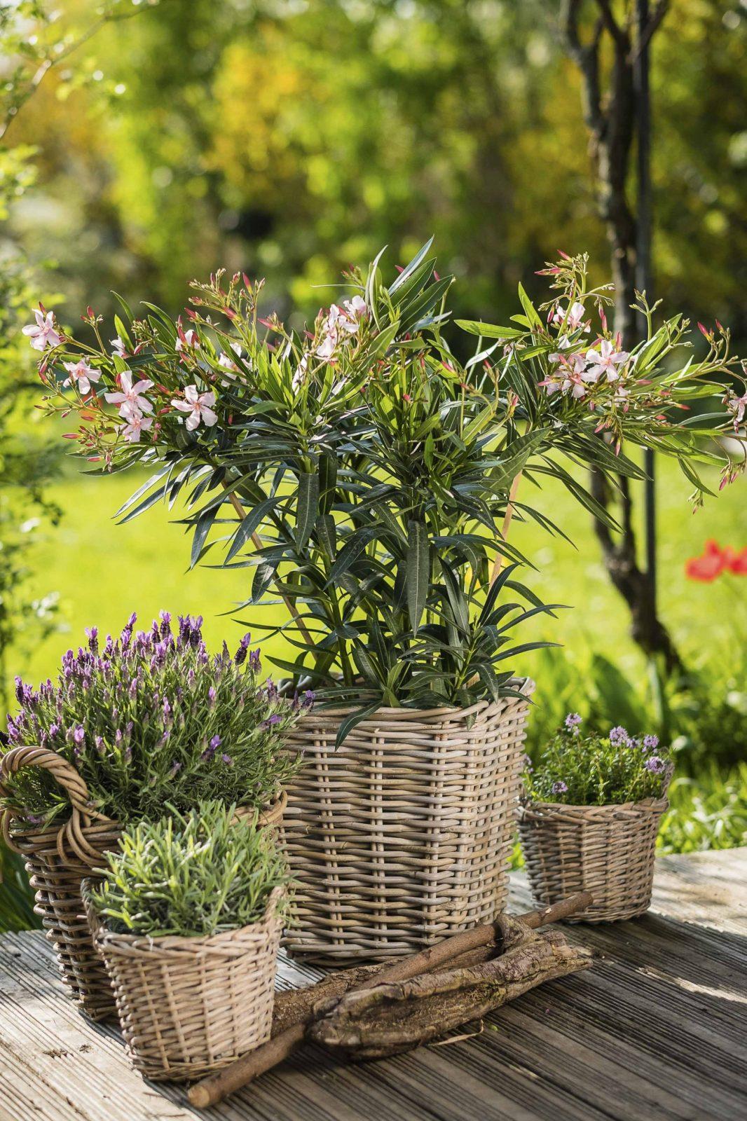 Kremer  Toskana Auf Der Terrasse von Pflanzen Für Sehr Sonnigen Standort Bild
