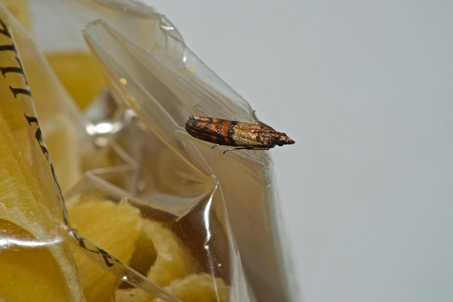 Lebensmittelmotten Bekämpfen Und Vertreiben von Kleine Motten Im Bad Photo