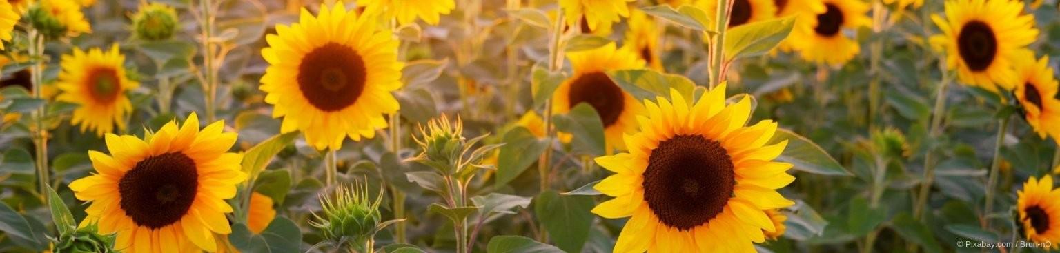Pflanzen Für Sonnige Standorte  Gartenundfreizeit von Pflanzen Für Sehr Sonnigen Standort Bild