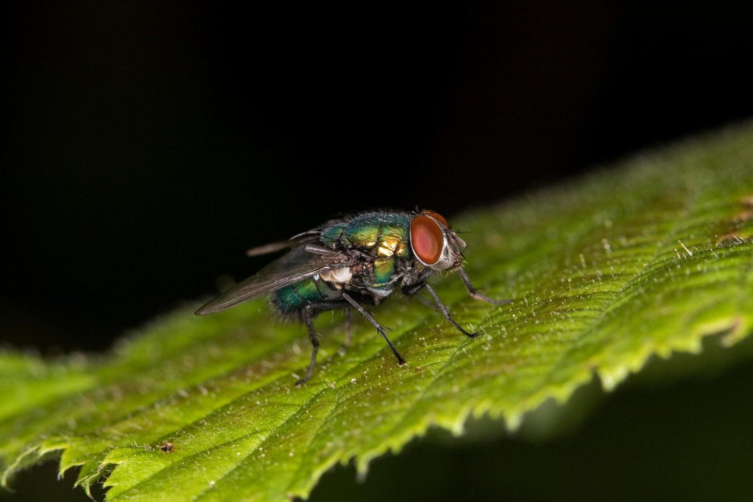 Schmeißfliegen – Nest Und Andere Ursachen Bekämpfen von Motten In Der Wohnung Woher Bild
