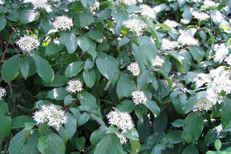 Schnell Wachsende Laubgehölze Für Den Garten  Native Plants von Schnell Wachsende Bäume Für Kleine Gärten Bild