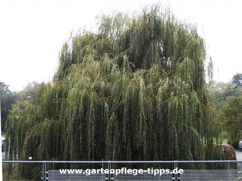 Schnellwachsende Bäume Für Den Garten von Schnell Wachsende Bäume Für Kleine Gärten Bild