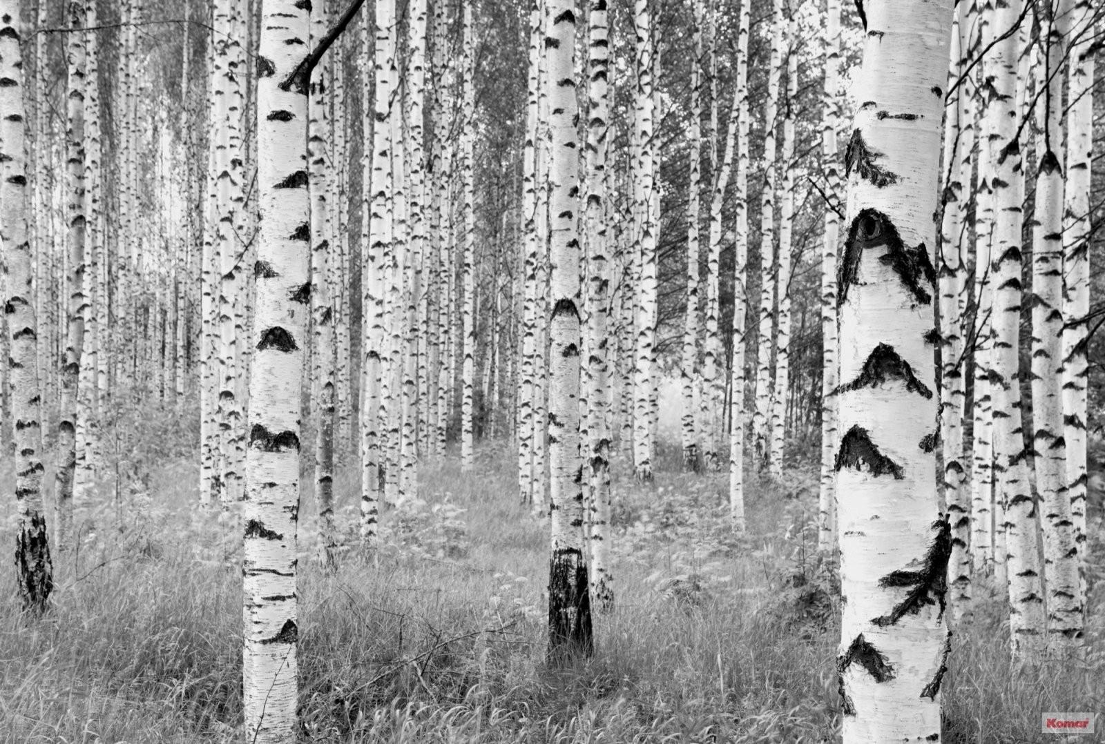 """Vliestapete """"Woods"""" (Xxl4023) Von Komar von Tapete Birke Schwarz Weiß Bild"""