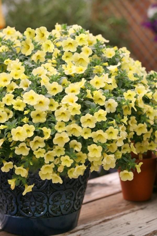 Welche Balkonpflanzen Für Sonnigen Balkon Wählen von Balkonpflanzen Für Pralle Sonne Photo