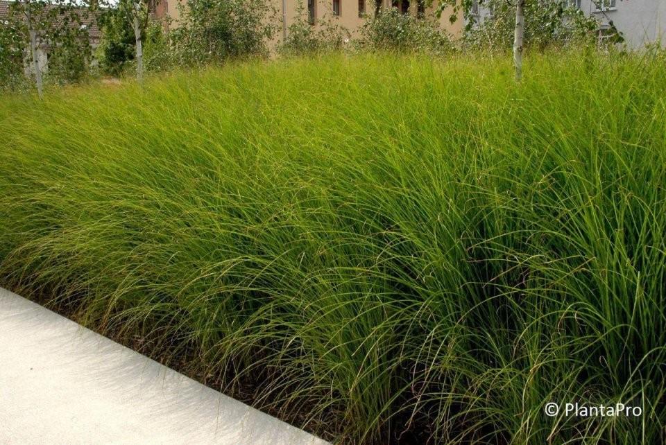 Ziergräser  Pflanzenverkauf Schweiz Onlineshop Für Pflanzen von Chinaschilf Eulalia Als Hecke Bild